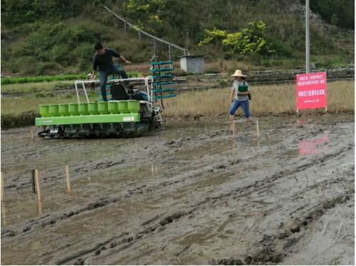 金城江区开展水稻机械化穴直播技术试验