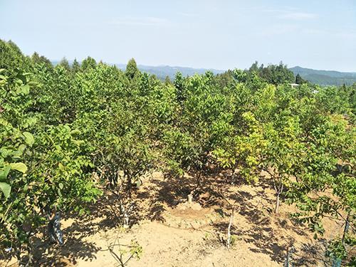 成都生物所在利用农作物秸秆促进核桃树生长方面获新进展