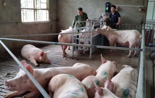批发母猪最好用的群养系统—神农畜牧设备