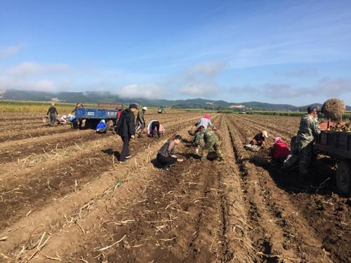 马铃薯收获好时节 敦化红石农机站助农秋收