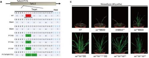 遗传发育所等利用单碱基编辑工具创制抗除草剂小麦