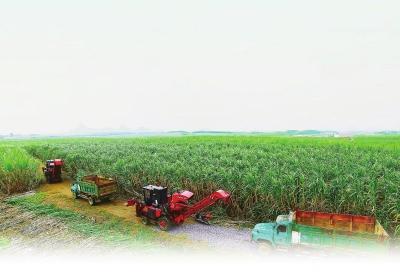 将甘蔗吃干榨净 机械代劳蔗农解放