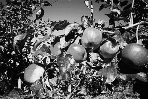 """苹果产第九十五 流翠湖边业如何""""根深叶茂"""""""